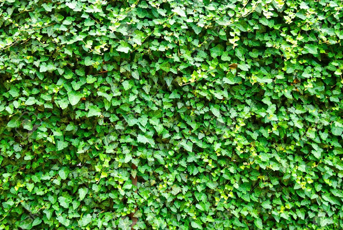 3315634-Wall-of-the-leaves-Ivy-Hedera-helix--Stock-Photo