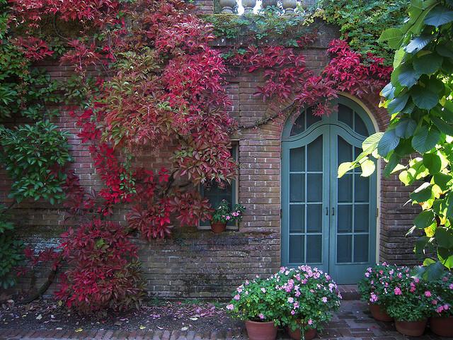 Къща обрасла с дива лоза (Parthenocissus)