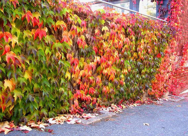 Ограда обрасла с дива лоза (Parthenocissus)