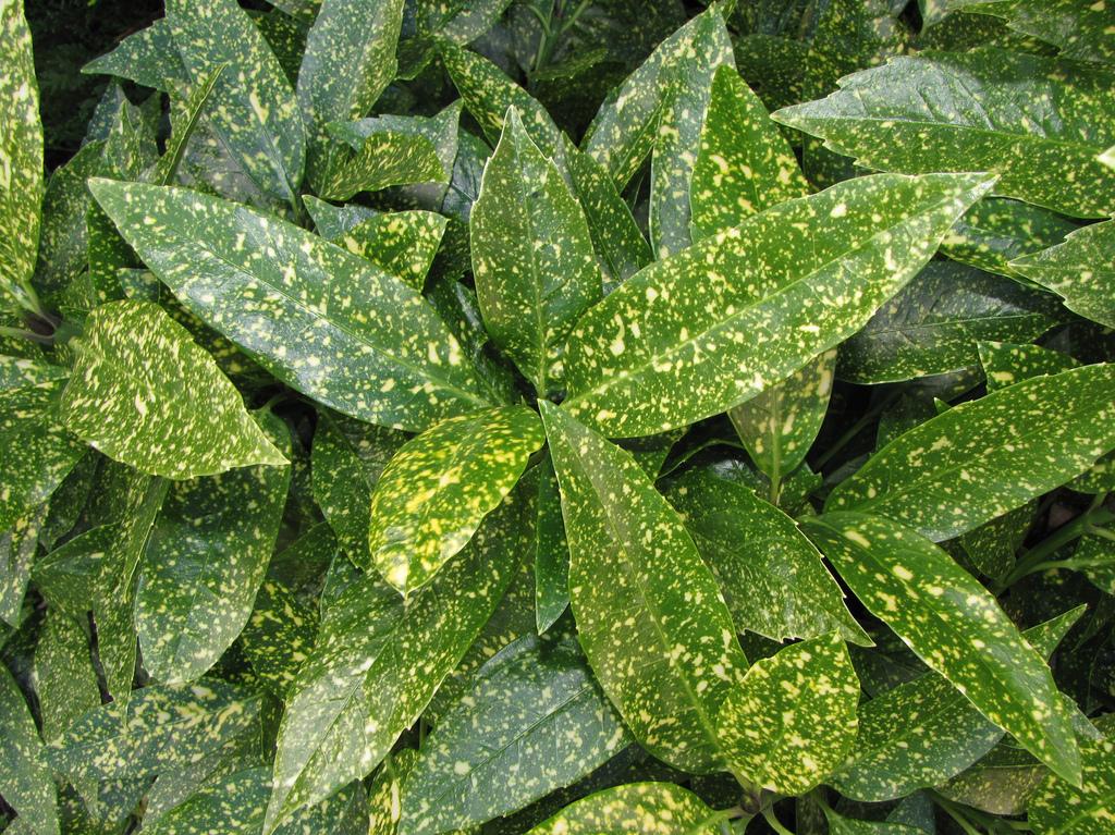 Аукуба (Aucuba Japonica Crotonifolia)