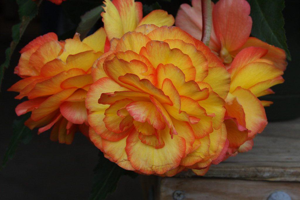 Близък план на оранжево-жълтите цветове на бегония