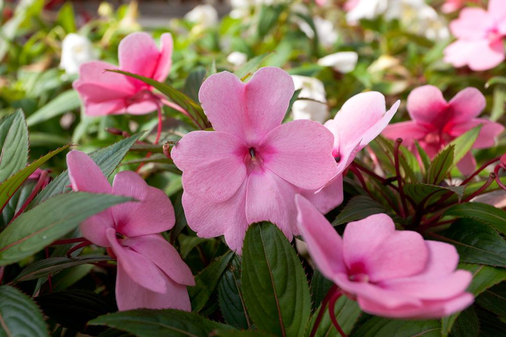 Близък план на розовите цветове на импатиенс или циганче, Busy Lizzie
