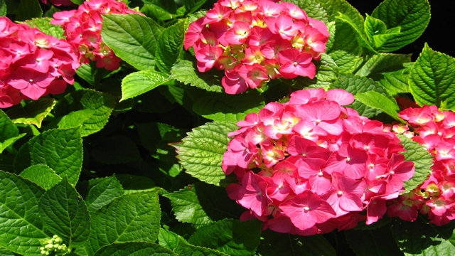 hortenzia-Hydrangea