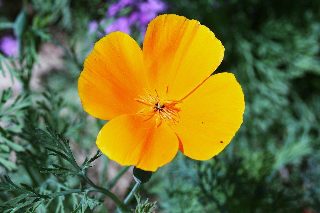 Ярко жълт цвят на калифорнийски мак