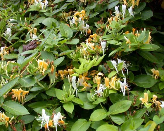 Японски нокът - (Lonicera Japonica)