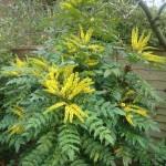 Японска махония (Mahonia japonica)