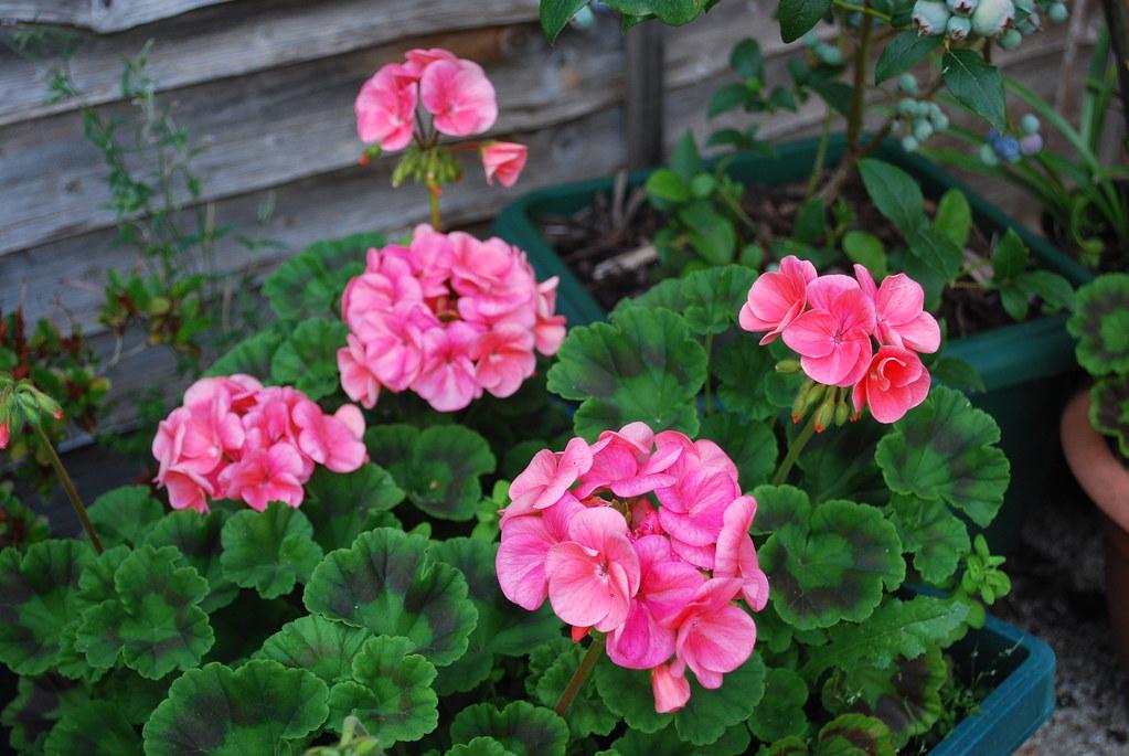 Ярко розови цветове на мушкато в саксии
