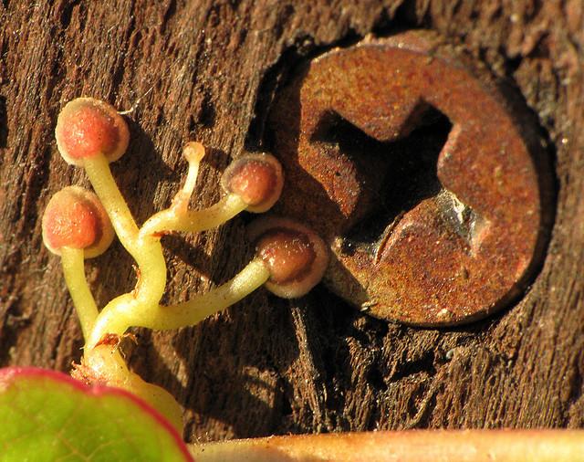Дива лоза (Parthenocissus) - закрепване