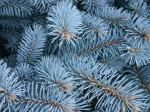 Клонки на Сребрист смърч (Picea Pungens)