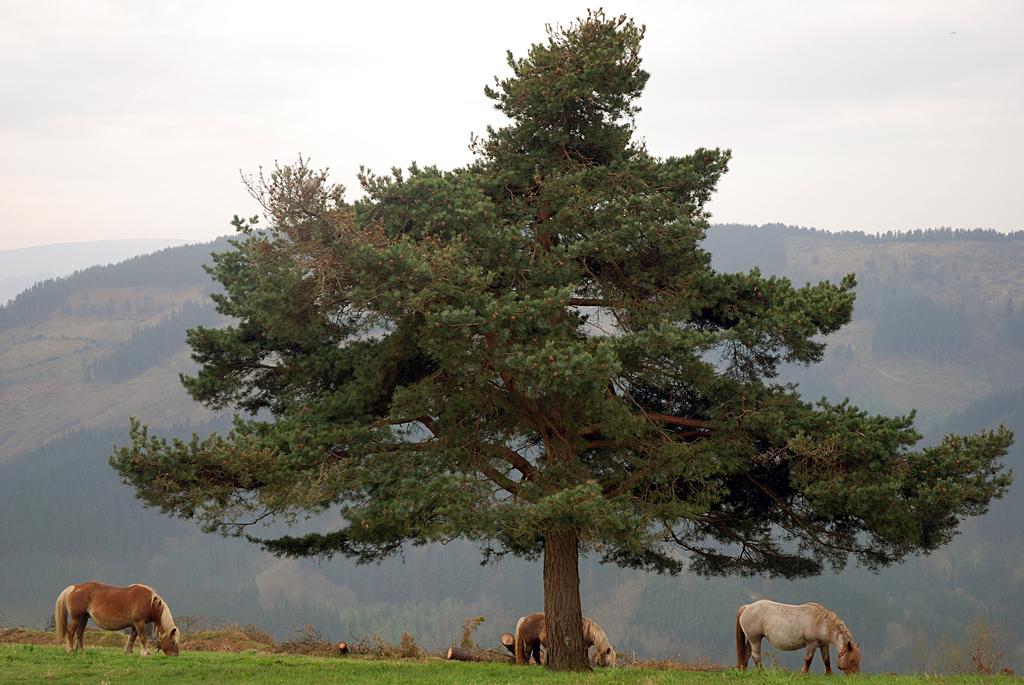 Черен бор (Pinus Nigra)