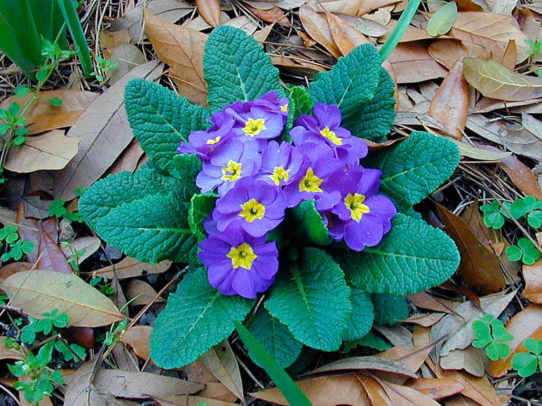 Безстъблена иглика (Primula vulgaris)