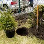 Засаждане на коледната елха