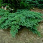 Смрика - Сабина (Juniperus Sabina)