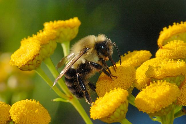 Синдромът на изчезналите пчели