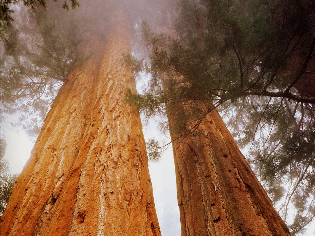 Гигантска секвоя (Sequoiadendron giganteum)